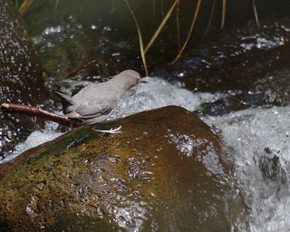 American Dipper | by Tom Clifton