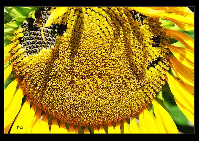 Sonnenblume Sommer Sonne sonnig Bienenweide ... Foto: Brigitte Stolle