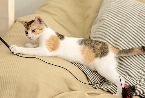 Lorna, monísima tricolor jaspeada nacida en Abril´17, en adopción. Valencia. ADOPTADA. 36174556071_ab62b5633a