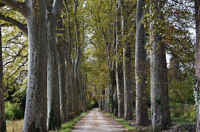 Plane tree avenue, Provence