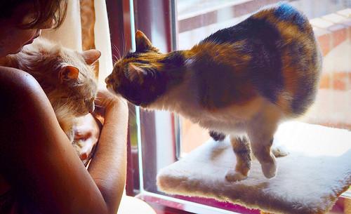 Blondie, gata Angora vainilla tímida y dulce esterilizada, nacida en Abril´13, en adopción. Valencia. ADOPTADA. 35790906210_d88b6cbc63