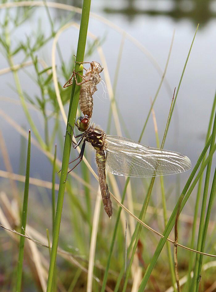 Sudenkorento ja kotelo