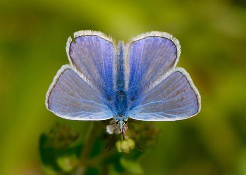 Common Blue, Aldbury Nowers | by Shazmon