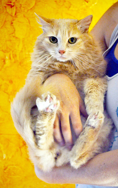 Blondie, gata Angora vainilla tímida y dulce esterilizada, nacida en Abril´13, en adopción. Valencia. ADOPTADA. 35790909160_74994bd6a7_z