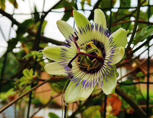 fleur du fruit de la passion andre caujolle flickr. Black Bedroom Furniture Sets. Home Design Ideas