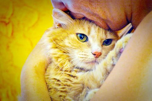 Blondie, gata Angora vainilla tímida y dulce esterilizada, nacida en Abril´13, en adopción. Valencia. ADOPTADA. 36047977021_42e1cbb5a3