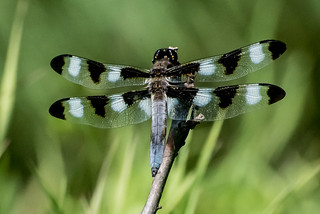 Twelve-spotted Skimmer | by Stephen Downes
