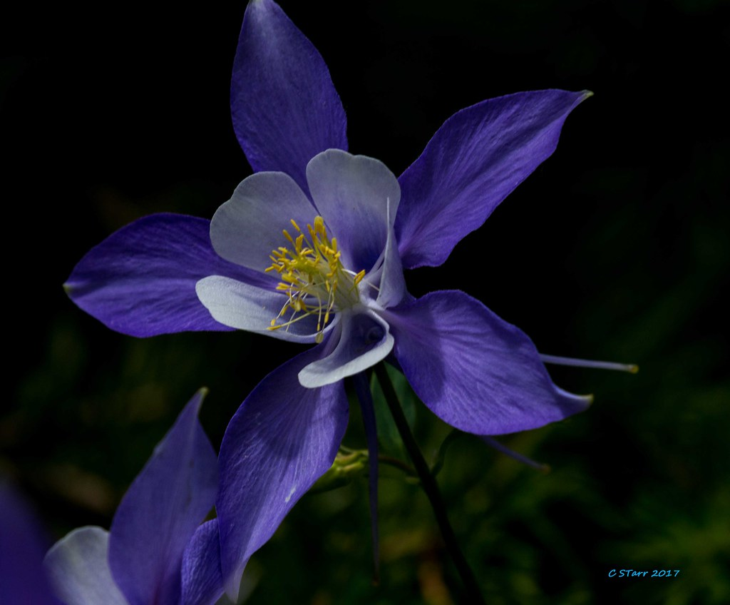 Img8100 Columbine Colorados State Flower Chuck Starr Flickr