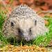 Hedgehog by Roger King