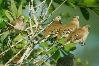 Long-tailed Ground-Dove | by nickathanas