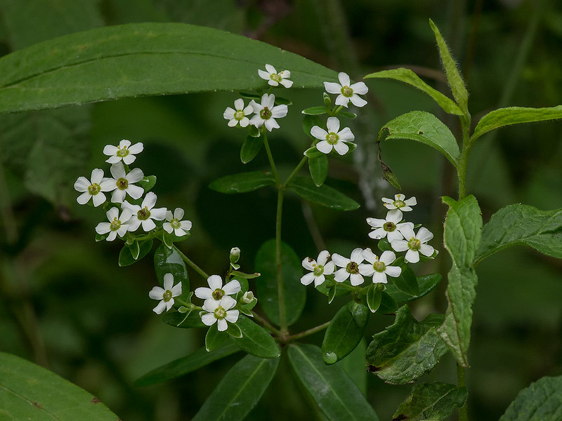 Flowering Spurge