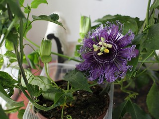 My passiflora in bloom! | by aurikka