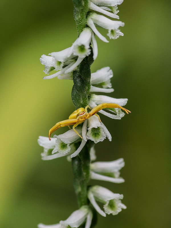 Southern Slender Ladies'-tresses orchid with crab spider