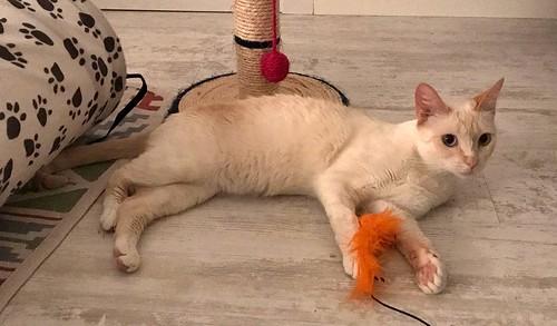 Brisa, gata Siamesa Red Point dulce y tímida esterilizada nacida en Abril´15, en adopción. Valencia. ADOPTADA. 35635843050_cc0a996c4d