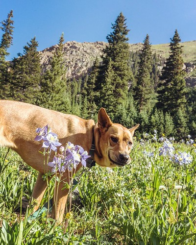 Yup, this is fine derping, #camillabarkerhowls. Herman Gulch Trail to Herman Lake in the Arapaho National Forest. Meadows, aspens, flowers, alpine lakes. 6.5+ mi, 1600 ft elevation gain to 12,000 ft, trailhead at N39 42.151 W105 51.256 (exit 218 on I70) - | by sebastien.barre