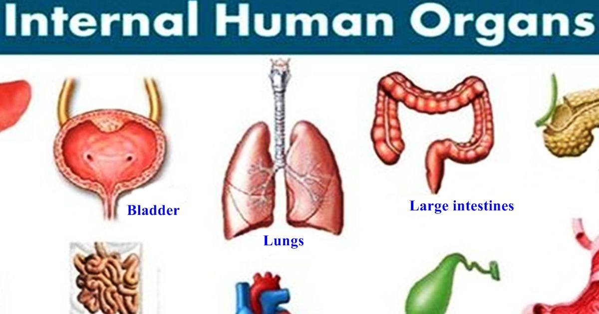 Vocabulary: Important Organs in a Human Body 5
