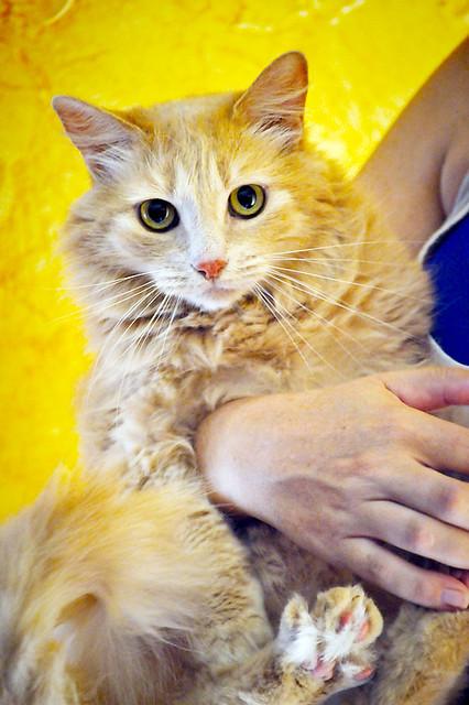 Blondie, gata Angora vainilla tímida y dulce esterilizada, nacida en Abril´13, en adopción. Valencia. ADOPTADA. 36047979941_91853ecbbc_z
