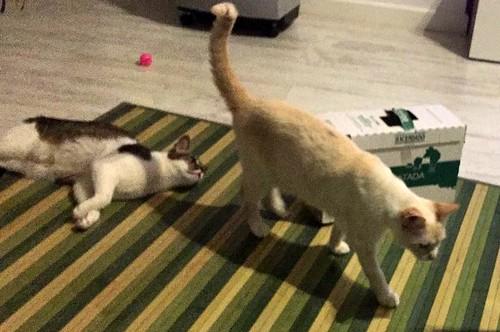 Brisa, gata Siamesa Red Point dulce y tímida esterilizada nacida en Abril´15, en adopción. Valencia. ADOPTADA. 35983651896_7991679b44