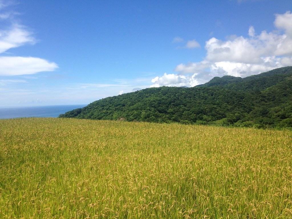 Dipit部落水稻田,種植品系為台梗4號。攝影:廖靜蕙