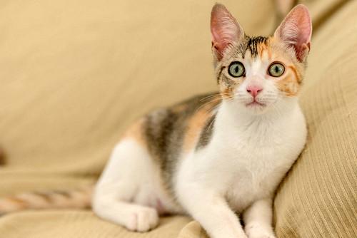 Lorna, monísima tricolor jaspeada nacida en Abril´17, en adopción. Valencia. ADOPTADA. 35473645094_3609bd905c