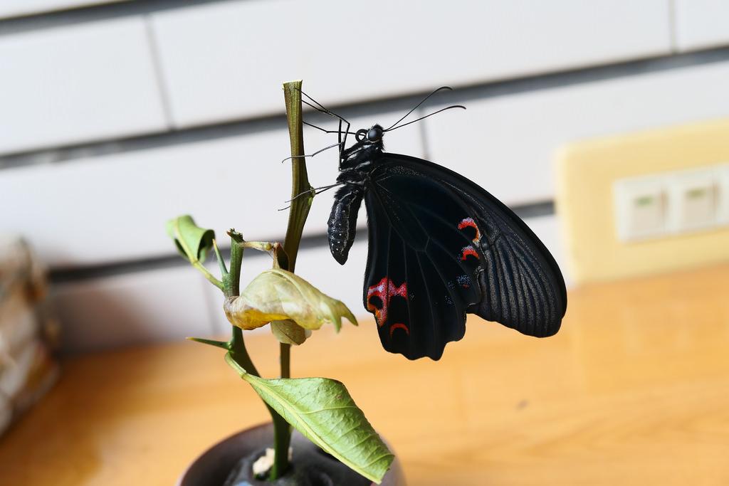 【自然谷之星】黑鳳蝶