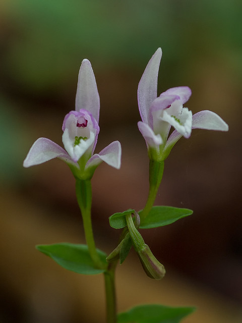 Three-birds orchid