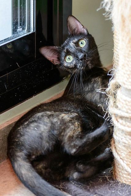 Vega, gatita Carey mimosona y divertida esterilizada, nacida en Octubre´16, en adopción. Valencia. ADOPTADA. 36141689612_042c6649c4_z