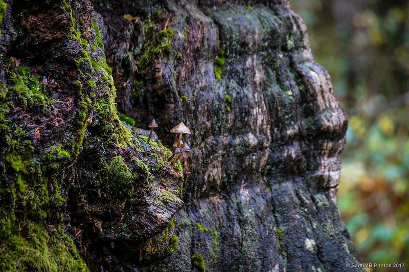 Setas sobre un tronco de roble muerto