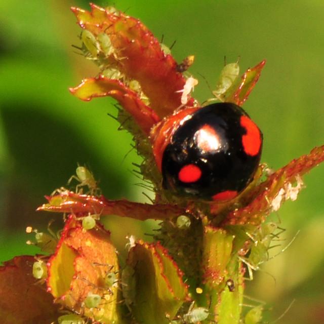 Marienkäfer-Varianten: schwarz auf rot, rot auf schwarz ... inkl. Blattläuse ... Foto: Brigitte Stolle