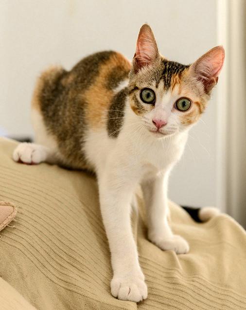 Lorna, monísima tricolor jaspeada nacida en Abril´17, en adopción. Valencia. ADOPTADA. 36309038625_f0dea1f1c9_z