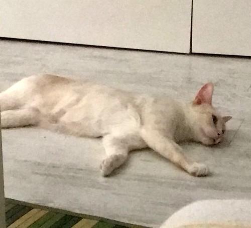 Brisa, gata Siamesa Red Point dulce y tímida esterilizada nacida en Abril´15, en adopción. Valencia. ADOPTADA. 35185805334_0d78d79f86