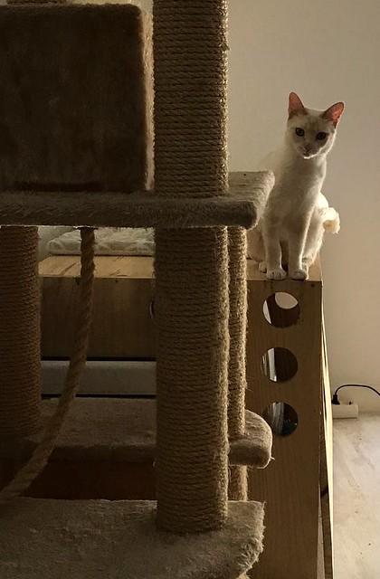 Brisa, gata Siamesa Red Point dulce y tímida esterilizada nacida en Abril´15, en adopción. Valencia. ADOPTADA. 35185807554_dc216b2360_z