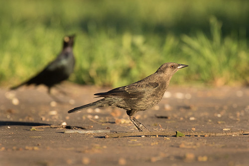 Brewer's Blackbird | by Eastbaygirl925