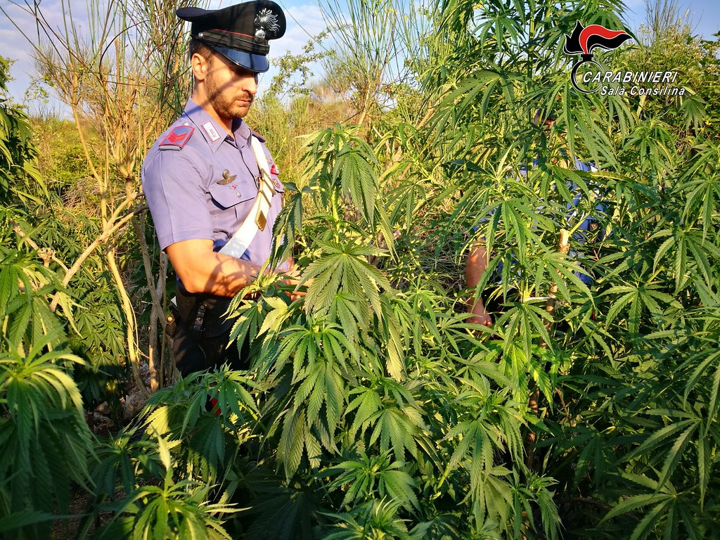 In giardino una piantagione di marijuana, arrestato un avvocato nel Salernitano