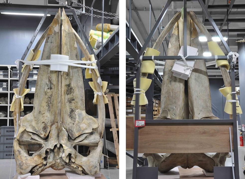 大村鯨模式標本的頭骨腹面。蔡政修攝於日本國立自然科學博物館。