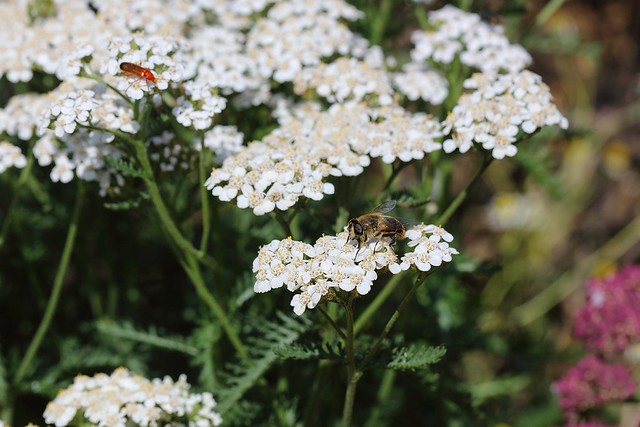 Yarrow flowers with a bee and another insect on it.
