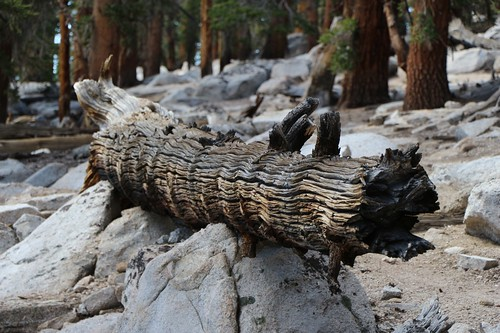 232 Cool-looking texture and color on an old pine log sitting next to the Pacific Crest Trail | by _JFR_