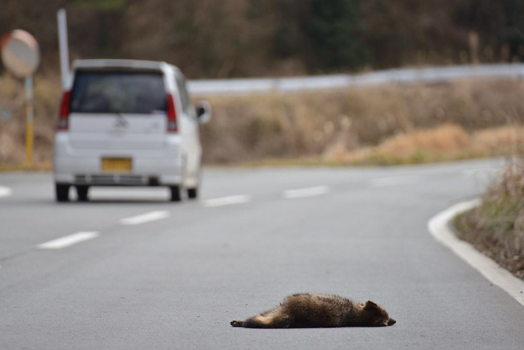遭到路殺的貍(日本北九州)。圖片來源:Yunghui(CC BY-NC-SA 2.0)。