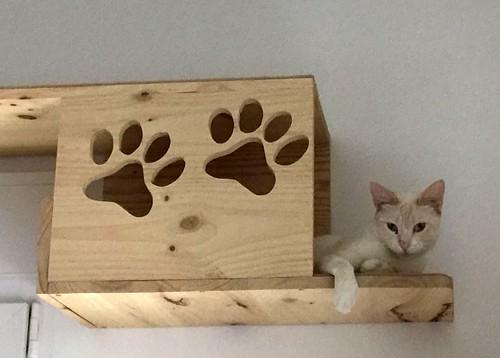 Brisa, gata Siamesa Red Point dulce y tímida esterilizada nacida en Abril´15, en adopción. Valencia. ADOPTADA. 36025324935_50b9c8d8af
