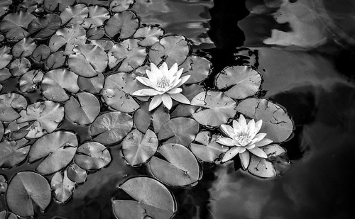 water lilies | by franzj