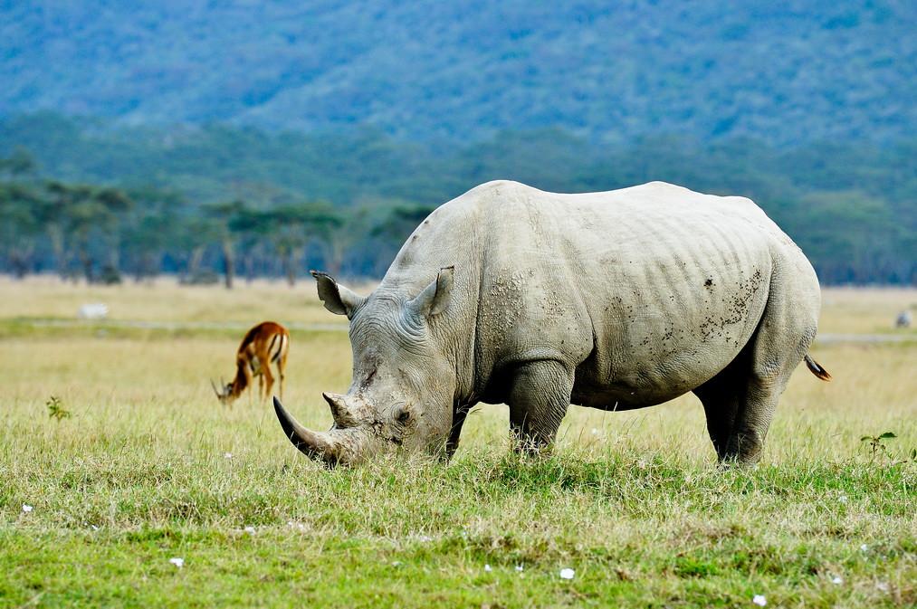 肯亞納庫魯的白犀牛。圖片來源:li yong(CC BY-SA 2.0)。
