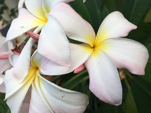 I love the smell of plumerias in my yard | by txflygirl