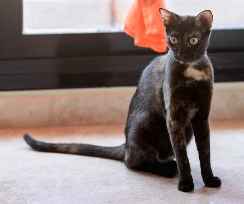 Vega, gatita Carey mimosona y divertida esterilizada, nacida en Octubre´16, en adopción. Valencia. ADOPTADA. 36267495086_04abf8fdb6