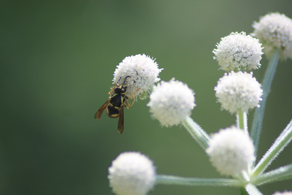 White Puffball Flowers And Wasp Emeraldimp Flickr
