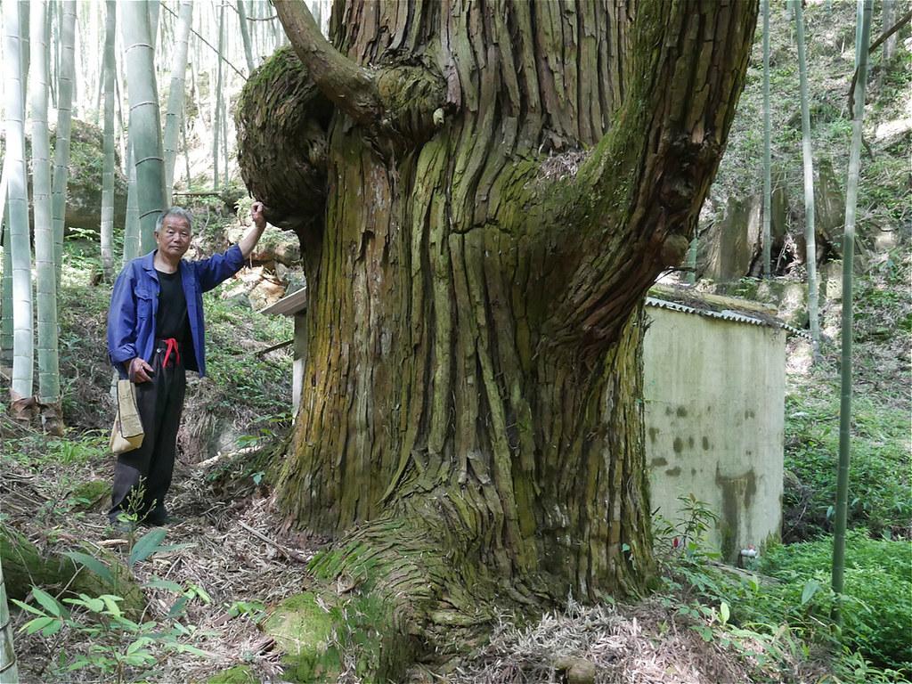 福建省上杭縣的一位村民站在風水林中古老的柳杉樹旁。周遭是因為重要經濟價值而被廣為種植的毛竹。圖片來源:Chris Coggins