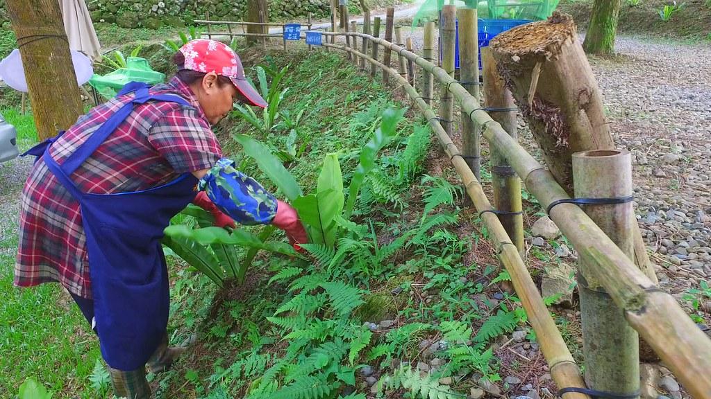 917-3-12新竹五峰山區這個原住民家庭,過去在山上種有許多紅檜、扁柏。規劃在林間建設露營場,用低度開發方式經營。