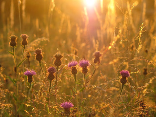 Knapweed at sunset at Muston Meadows | by Grantham Ecology