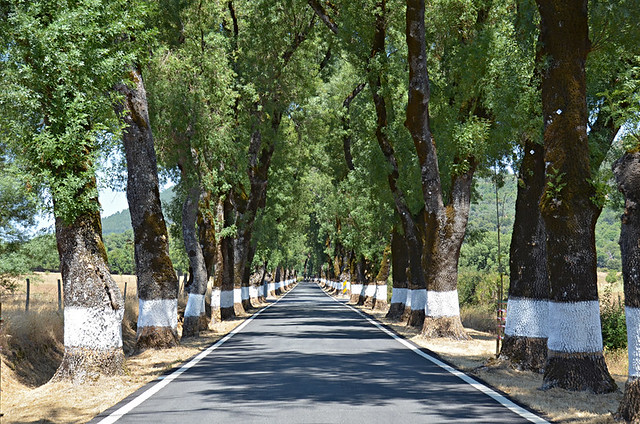 Ash tree avenue, Portagem, Marvao, Alentejo