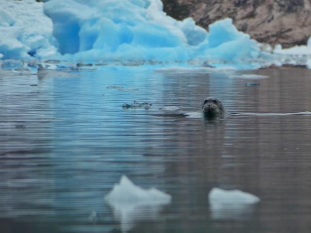 Foca en Tasiusaq (Groenlandia)
