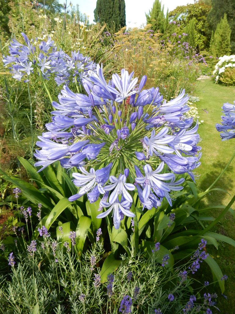Lily of the nile agapanthus bishop palace gardens chic flickr lily of the nile agapanthus bishop palace gardens chichester cathedral 4 izmirmasajfo